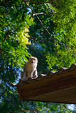 Monkey sitting on roof Royalty Free Stock Images