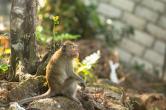 Monkey sitting on the roots of a tree. Stock Photos