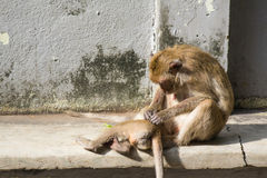 Monkey sitting and scratch young monkey Royalty Free Stock Photo