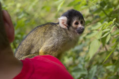Monkey. A monkey sitting on a shoulder Royalty Free Stock Photos