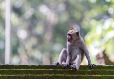 Monkey sitting on steps in Ubud forest, Bali Stock Photo
