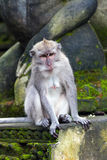 Monkey sitting on steps in Ubud forest, Bali Stock Photo