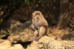 Monkey sitting on stone. Royalty Free Stock Images