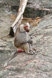 The monkey sitting on a stone Royalty Free Stock Photos