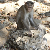 Monkey sitting on a stone Stock Image