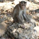 Monkey sitting on a stone Stock Image