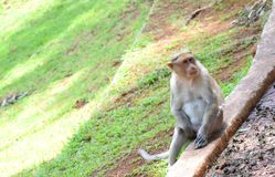Monkey sitting on the stone. At coonoor sims park. Monkey is looking to the another monkey stock photos