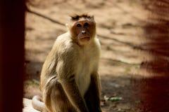Monkey sitting on the stone. Monkey is sitting on the stone and showing tongue and looking to the camera stock images
