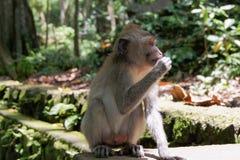 Monkey. Sitting on a stone tile old monkey Royalty Free Stock Images