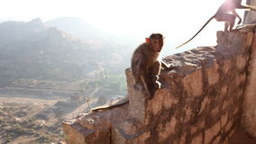Monkey sitting on a stone wall stock video