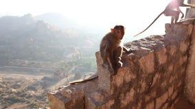 Monkey sitting on a stone wall stock video