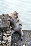 Monkey sitting on the stone wall. Wild animals of Bali. royalty free stock images