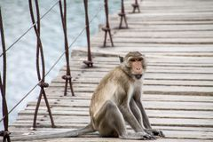 Monkey that sitting on the suspension bridge Royalty Free Stock Images