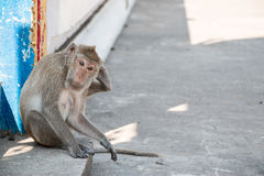 Monkey is sitting in temple, big group of monkeys live in temple and forest in thailand. Royalty Free Stock Photo