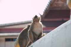 Monkey is sitting in temple, big group of monkeys live in temple and forest in thailand. Stock Images