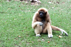 Monkey sitting to look for food. Monkey sitting to look for food in the green grass Royalty Free Stock Photography