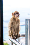 Monkey sitting on the top cable car station of Gibraltar Stock Photo