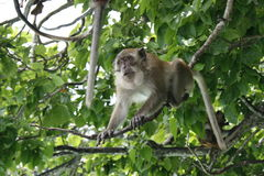 Monkey sitting on the tree Royalty Free Stock Photography