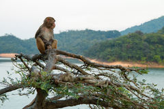 Monkey. A monkey sitting on the tree Stock Images