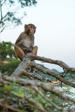 Monkey. A monkey sitting on the tree Royalty Free Stock Image