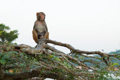 Monkey. A monkey sitting on the tree Royalty Free Stock Photos