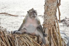 Monkey sitting on a tree by the beach. Royalty Free Stock Photography