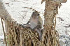 Monkey sitting on a tree by the beach. royalty free stock photo