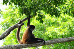 Monkey Sitting on a Tree Branch Stock Images