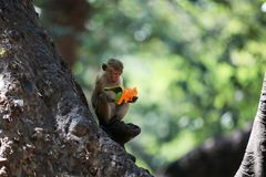 Monkey Eating a Fruit on a Tree. Monkey Sitting on a Tree and Eating a Mango  Fruit Royalty Free Stock Photo