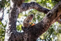 Monkey Eating a Fruit on a Tree. Monkey Sitting on a Tree and Eating a Mango  Fruit Stock Images