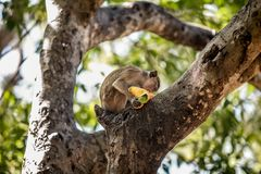 Monkey Eating a Fruit on a Tree. Monkey Sitting on a Tree and Eating a Mango  t Stock Images