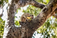 Monkey Eating a Fruit on a Tree. Monkey Sitting on a Tree and Eating a Mango  t Stock Photos