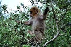 Monkey in the tree royalty free stock photo
