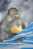 Monkey eating a pineapple. Monkey sitting on a tree while having lunch Royalty Free Stock Photography