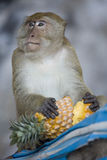 Monkey eating a pineapple. Monkey sitting on a tree while having lunch Stock Photo