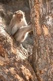 Monkey sitting on tree ( Macaca Fascicularis ). Stock Image