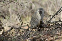 Monkey sitting on a tree and observing around. In the savanna– South Africa Royalty Free Stock Images