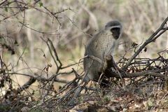 Monkey sitting on a tree and observing around in the savanna. – South Africa Royalty Free Stock Images