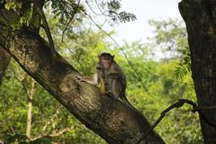 A monkey sitting on a tree in Sanjay Gandhi National Park forest located in Mumbai stock image