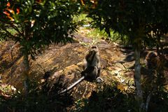 Monkey sitting under palm trees on Ko Chang island in Thailand in April, 2018 royalty free stock photo