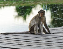 Monkey sitting on wooden bridge Royalty Free Stock Photo