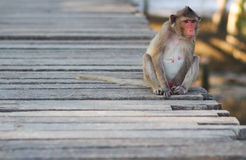 Monkey sitting. On a wooden floor Stock Images