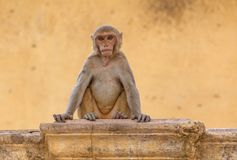 Monkey sitting at yellow building Stock Images