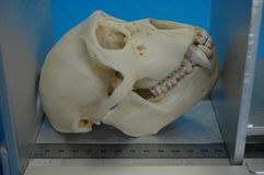 Monkey skull measured 2. Monkey skull is measured at a university for vet students Royalty Free Stock Photos