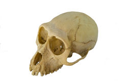Monkey skull Royalty Free Stock Image