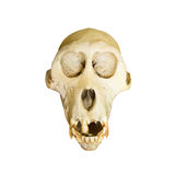 Monkey skulls Royalty Free Stock Images