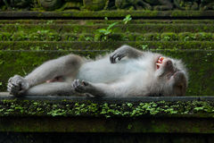 Monkey sleep on the stone Stock Image