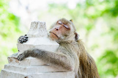 Monkey sleep,. Usually monkeys are very naughty, we often do not see when monkeys sleep stock images