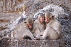 Monkey sleeping Stock Images