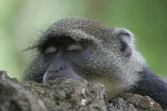 Free Monkey Sleeping Royalty Free Stock Photos - 656978